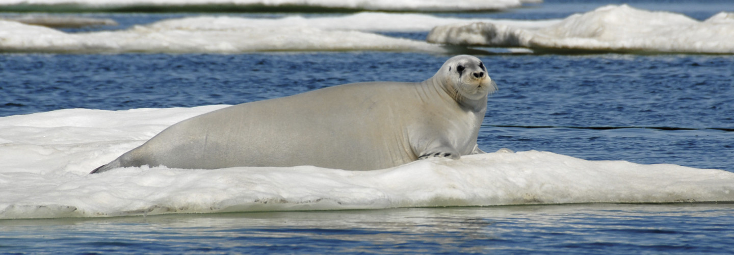 Bearded seals forage for food on the bottom of the sea, and the iron there stains their faces