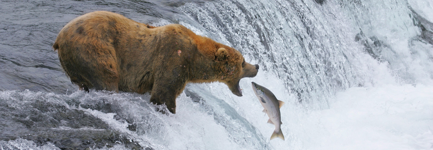 bear catching salmon in Katmai National Park