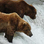 Brown bears on a short waterfall